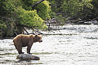 USA, Alaska, Katmai National Park, Brown bear (Ursus arctos) at Brooks Falls, foraging - FOF006012