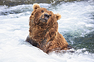 USA, Alaska, Katmai National Park, Brown bear (Ursus arctos) at Brooks Falls, foraging - FO006025
