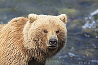 USA, Alaska, Katmai National Park, Brown bear (Ursus arctos) at Brooks Falls, foraging - FOF005981