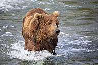 USA, Alaska, Katmai National Park, Brown bear (Ursus arctos) at Brooks Falls, foraging - FOF005983