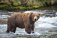 USA, Alaska, Katmai National Park, Brown bear (Ursus arctos) at Brooks Falls, foraging - FOF005985
