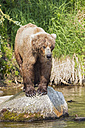USA, Alaska, Katmai National Park, Brown bear (Ursus arctos) at Brooks Falls, foraging - FOF005988