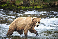 USA, Alaska, Katmai National Park, Brown bear (Ursus arctos) at Brooks Falls, foraging - FOF005992