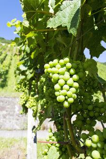 Germany, Rhineland-Palatinate, Leutesdorf, Grape vine - CSF020880
