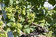 Germany, Rhineland-Palatinate, Leutesdorf, Grape vine - CSF020878