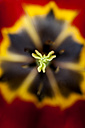 Pistil of red and yellow tulip (Tulipa), close-up - TCF003909