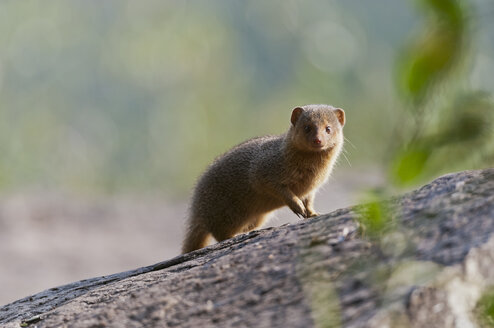 Africa, Kenya, Maasai Mara National Reserve, Ethiopian dwarf mongoose or Somali dwarf mongoose (Helogale hirtula) - CB000297