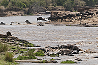 Africa, Kenya, Maasai Mara National Reserve, Blue or Common Wildebeest (Connochaetes taurinus), during migration, wildebeest crossing the Mara River, many dead wildebeest at front - CB000290