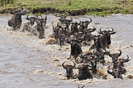 Africa, Kenya, Maasai Mara National Reserve, Blue Wildebeest (Connochaetes taurinus), gnus crossing the Mara River - CB000282