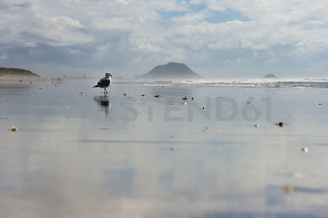 New Zealand, North Island, Bay of Plenty, Tauranga, Papamoa Beach with Mount Maunganui in the background and gull (Larus dominicanus) - JB000048