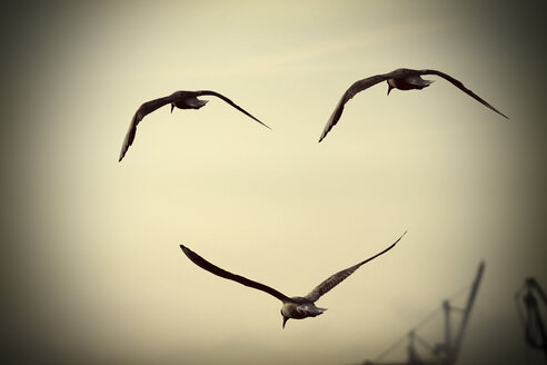 Threee seagulls flying - HOHF000503