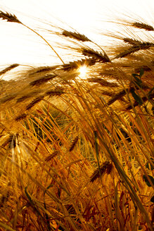 Germany, Barley ears in field, close up - CSF020884