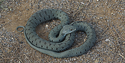 Spain, Green Snake, Opheodrys, heart-shaped - DJGF000045