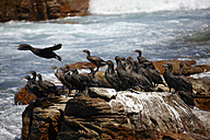 South Africa, Cape of Good Hope, Cape cormorants sitting on rock - AKF000289
