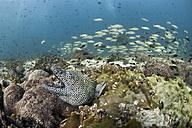 Oman, Gulf of Oman, laced moray (Gymnothorax favagineus) and shoal of yellowtail snappers (Ocyurus chrysurus) - ZCF000001