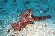 Oman, long-tailed nudibranch - ZCF000015