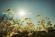 Germany, North Rhine-Westphalia, Oberhausen, grasses against the sun - GDF000288