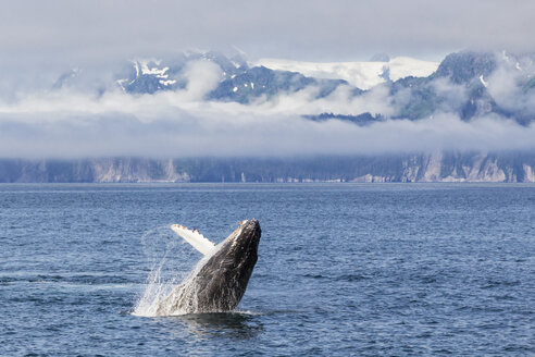 USA, Alaska, Seward, Resurrection Bay,  jumping humpback whale (Megaptera novaeangliae) - FOF006058
