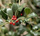 Twig with red berries of holly (Ilex aquifolium), close-up - HLF000402