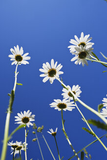 Marguerites (Leucanthemum) in front of blue sky, view from below - GWF002593