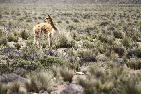 Peru, Piura, Puno, Andes, vicuna (Vicugna vicugna) on the landscape - KRP000324