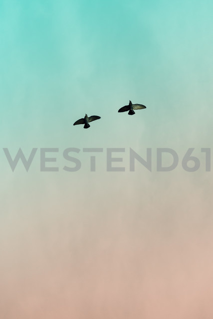 Two doves (Columbidae) flying in front of sky, view from below - NGF000118 - Nadine Ginzel/Westend61