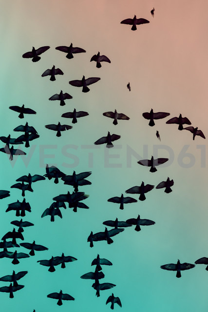 Flock of doves (Columbidae) flying in front of sky - NGF000112 - Nadine Ginzel/Westend61