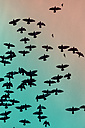 Flock of doves (Columbidae) flying in front of sky - NGF000112