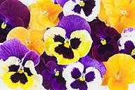 Pansies (Viola) - GWF002637