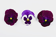 Three pansies (Viola) on white background - GWF002639