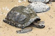 Seychelles, Praslin, Seychelles giant tortoise (Dipsochelys hololissa) - WEF000017