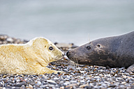 Germany, Helgoland, Duene Island, Grey seal (Halichoerus grypus) and grey seal pup at beach - FOF006286