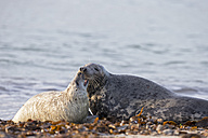 Germany, Helgoland, Duene Island, Grey seal (Halichoerus grypus) and grey seal pup at beach - FO006288