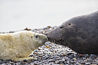 Germany, Helgoland, Duene Island, Grey seal (Halichoerus grypus) and grey seal pup at beach - FO006289