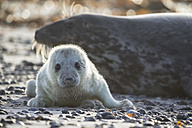 Germany, Helgoland, Duene Island, Grey seal (Halichoerus grypus) and grey seal pup at beach - FOF006292