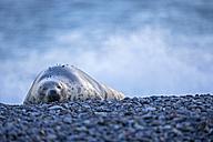 Germany, Helgoland, Duene Island, Grey seal (Halichoerus grypus) sleeping at beach - FOF006157