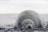 Germany, Helgoland, Duene Island, Grey seal (Halichoerus grypus) at beach - FOF006159