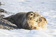 Germany, Helgoland, Duene Island, Grey seal (Halichoerus grypus) at beach - FOF006166