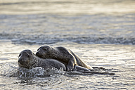 Germany, Helgoland, Grey Seals (Halichoerus grypus) playing - FOF006099