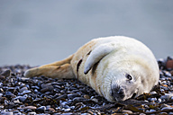 Germany, Helgoland, Duene Island, Grey seal pup (Halichoerus grypus) lying at shingle beach - FOF006132