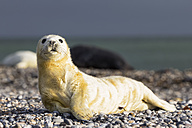 Germany, Helgoland, Duene Island, Grey seal pup (Halichoerus grypus) lying at shingle beach - FOF006128