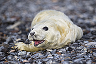 Germany, Helgoland, Duene Island, Grey seal pup (Halichoerus grypus) lying at shingle beach - FOF006124