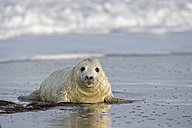 Germany, Helgoland, Duene Island, Grey seal pup (Halichoerus grypus) at beach - FOF006175