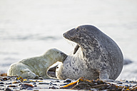 Germany, Helgoland, Duene Island, Grey seal (Halichoerus grypus) is suckling her pup at beach - FOF006180