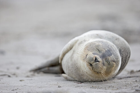 Germany, Schleswig-Holstein, Helgoland, Duene Island, harbour seal pup (Phoca vitulina) sleeping on the beach - FOF006135