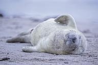 Germany, Schleswig-Holstein, Helgoland, Duene Island, grey seal pup (Halichoerus grypus) sleeping on the beach - FOF006138
