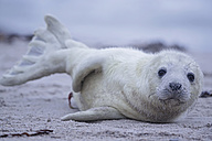 Germany, Schleswig-Holstein, Helgoland, Duene Island, grey seal pup (Halichoerus grypus) lying on the beach - FOF006139