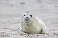 Germany, Schleswig-Holstein, Helgoland, Duene Island, grey seal pup (Halichoerus grypus) lying on the beach - FO006144