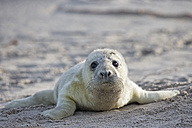 Germany, Schleswig-Holstein, Helgoland, Duene Island, portrait of grey seal pup (Halichoerus grypus) lying on the beach - FOF006148
