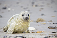 Germany, Schleswig-Holstein, Helgoland, Duene Island, grey seal pup (Halichoerus grypus) lying on the beach - FO006149